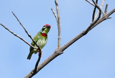 A colorful Coppersmith Barbet perched on a branch Stock Image