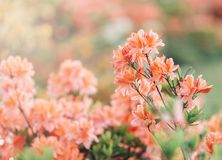 Colorful coral  azalea flowers in garden. Blooming bushes of bright azalea at spring sunlight. Nature, spring flowers stock photo