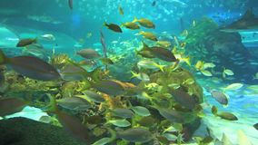 Colorful coral encrusted reefs with large numbers of swimming tropical fish. Colorful coral encrusted reefs near large numbers of swimming tropical fish stock footage