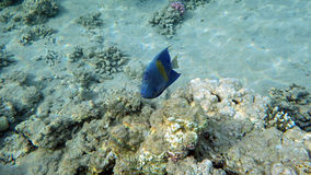 Colorful coral fishes over a coral reef Stock Images