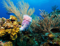 Colorful Coral Landscape of Caribbean Sea Stock Images