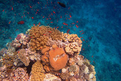 Colorful coral and lots of colorful fish royalty free stock photos