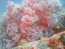 Colorful coral reef. Close up of colorful red coral reef, underwater scene Royalty Free Stock Photo