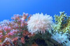 Free Colorful Coral Reef At The Bottom Of Tropical Sea, White Pulsing Polyp Coral , Underwater Landscape Stock Image - 165961871