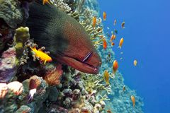 Colorful coral reef with dangerous great moray eel at the bottom of tropical sea Royalty Free Stock Images