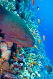 Colorful coral reef with dangerous great moray eel Royalty Free Stock Photography