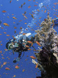 Colorful coral reef and Diver. Diver at colorful coral reef, shallow water, Red Sea Stock Image