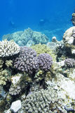 Colorful coral reef with divers in tropical sea, underwater Stock Photography