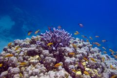 Colorful coral reef with exotic fishes at the bottom of  tropical sea Royalty Free Stock Image