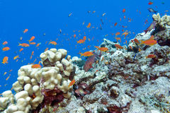 Colorful coral reef with exotic fishes in tropical sea-underwate Stock Images