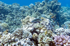 Colorful coral reef with exotic goatfish , underwater Stock Image