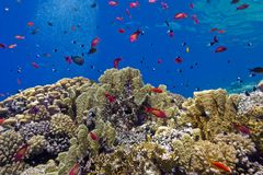 Colorful coral reef with fire corals and fishes anthias at the bottom of tropical sea on blue water background Royalty Free Stock Photo
