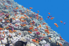 Colorful coral reef with fishes  anthias in tropical sea, underwater Stock Photos