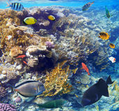 Colorful coral reef fishes of the Red Sea. Stock Photography