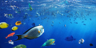 Colorful coral reef fishes of the Sea. Stock Photos