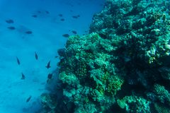 Colorful coral reef and fishes swim near hard corals at the bottom of tropical sea on blue water background- underwater photo. Colorful coral reef with hard stock images