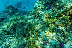 Colorful coral reef and fishes swim near hard corals at the bottom of tropical sea on blue water background- underwater photo. Colorful coral reef with hard royalty free stock image