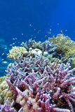 Colorful coral reef with fishes in tropical sea Royalty Free Stock Photos