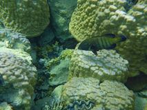 Colorful coral reef with fishes. Underwater world of coral and fishes stock photography