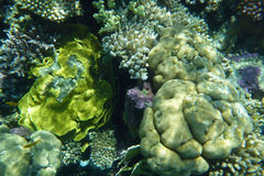 Colorful coral reef with fishes. Underwater world of coral and fishes Stock Photos