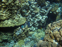 Colorful coral reef with fishes. Underwater world of coral and fishes Royalty Free Stock Photography
