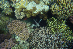 Colorful coral reef with fishes. Underwater world of coral and fishes Royalty Free Stock Images