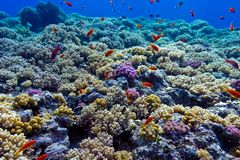 Colorful coral reef with hard corals on the bottom of red sea Royalty Free Stock Images