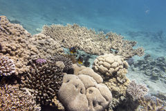 Colorful coral reef with hard corals at the bottom of tropical s Royalty Free Stock Photo
