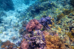 Colorful coral reef with hard corals at the bottom of tropical s Royalty Free Stock Image