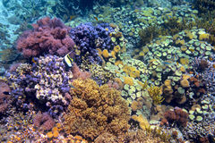Colorful coral reef with hard corals at the bottom of tropical s Royalty Free Stock Images