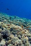 Colorful coral reef with hard corals on the bottom of tropical  sea on blue water background Stock Photo