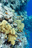 Colorful coral reef with hard corals and exotic fishes at the bo Royalty Free Stock Photography