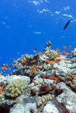 Colorful coral reef with hard corals and exotic fishes Royalty Free Stock Image