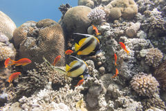 Colorful coral reef with hard corals in tropical sea , underwate Royalty Free Stock Photos