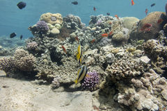 Colorful coral reef with hard corals in tropical sea , underwate Royalty Free Stock Image