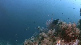 Raja Ampat Indonesia colorful coral reef 4k. Colorful coral reef with healthy corals and plenty fish. South Raja Ampat dive site Grouper Net 4k footage stock video footage