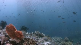 Coral reef in Raja Ampat, Indonesia 4k. Colorful coral reef with healthy corals and plenty fish. South Raja Ampat dive site Tank Rock 4k footage stock video footage