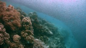 Raja Ampat Indonesia colorful coral reef 4k. Colorful coral reef with healthy corals and plenty fish. South Raja Ampat school of silverfish dive site Barracuda stock video footage