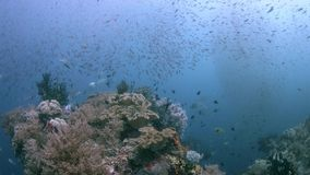 Raja Ampat Indonesia colorful coral reef 4k. Colorful coral reef with healthy corals and plenty fish. Trevallies hunting in a school of Fusiliers. South Raja stock footage