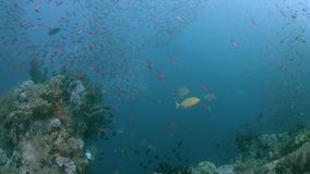 Raja Ampat Indonesia colorful coral reef 4k. Colorful coral reef with healthy corals and plenty fish. Trevallies hunting in a school of Fusiliers. South Raja stock video footage
