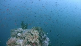 Raja Ampat Indonesia colorful coral reef 4k. Colorful coral reef with healthy corals and plenty fish. Trevallies hunting in a school of Fusiliers. South Raja stock video