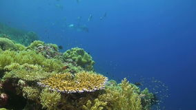 Colorful coral reef with many fish. Colorful coral reef with giant trevallies, damselfish and grouper stock footage