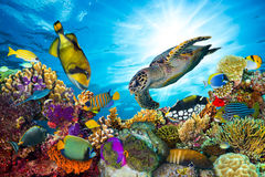 Colorful coral reef with many fishes. And sea turtle
