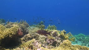 Colorful coral reef in Philippines. With grouper, snapper, trevallies and damselfish stock video footage