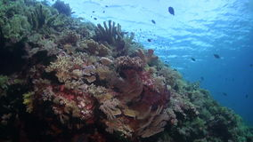 Colorful coral reef in Philippines. With grouper, snapper, trevallies and damselfish stock footage