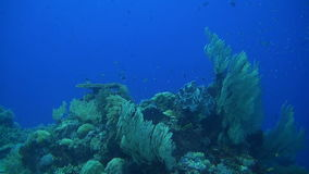 Colorful coral reef in Philippines. With healthy hard corals. Snapper, Unicornfish, Anthias and Angelfish stock video footage
