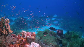 Colorful coral reef in Philippines. With plenty fish. Unicornfish, Anthias, Surgeonfish and Grouper stock video