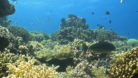 Colorful coral reef in Philippines. Unicornfish with cleanerfish stock video footage