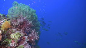 Colorful coral reef with plenty fish. And huge sea fans. Snapper, Damselfish, Surgeonfish, Unicornfish, Anthias stock footage