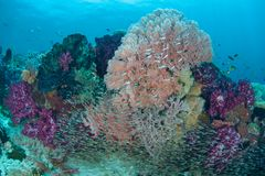 Colorful Coral Reef in Raja Ampat Royalty Free Stock Photos